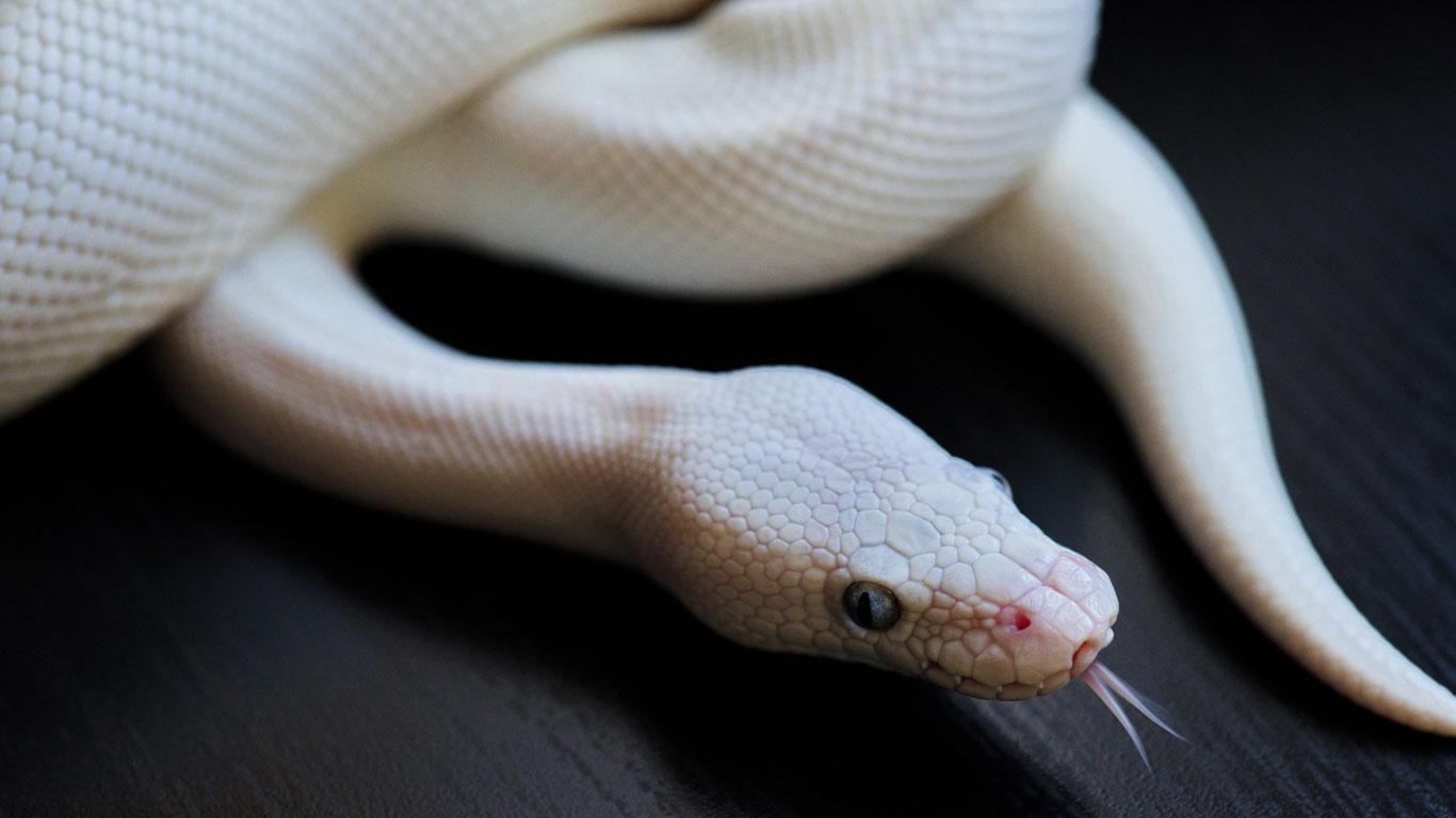 weiße Albino-Schlange