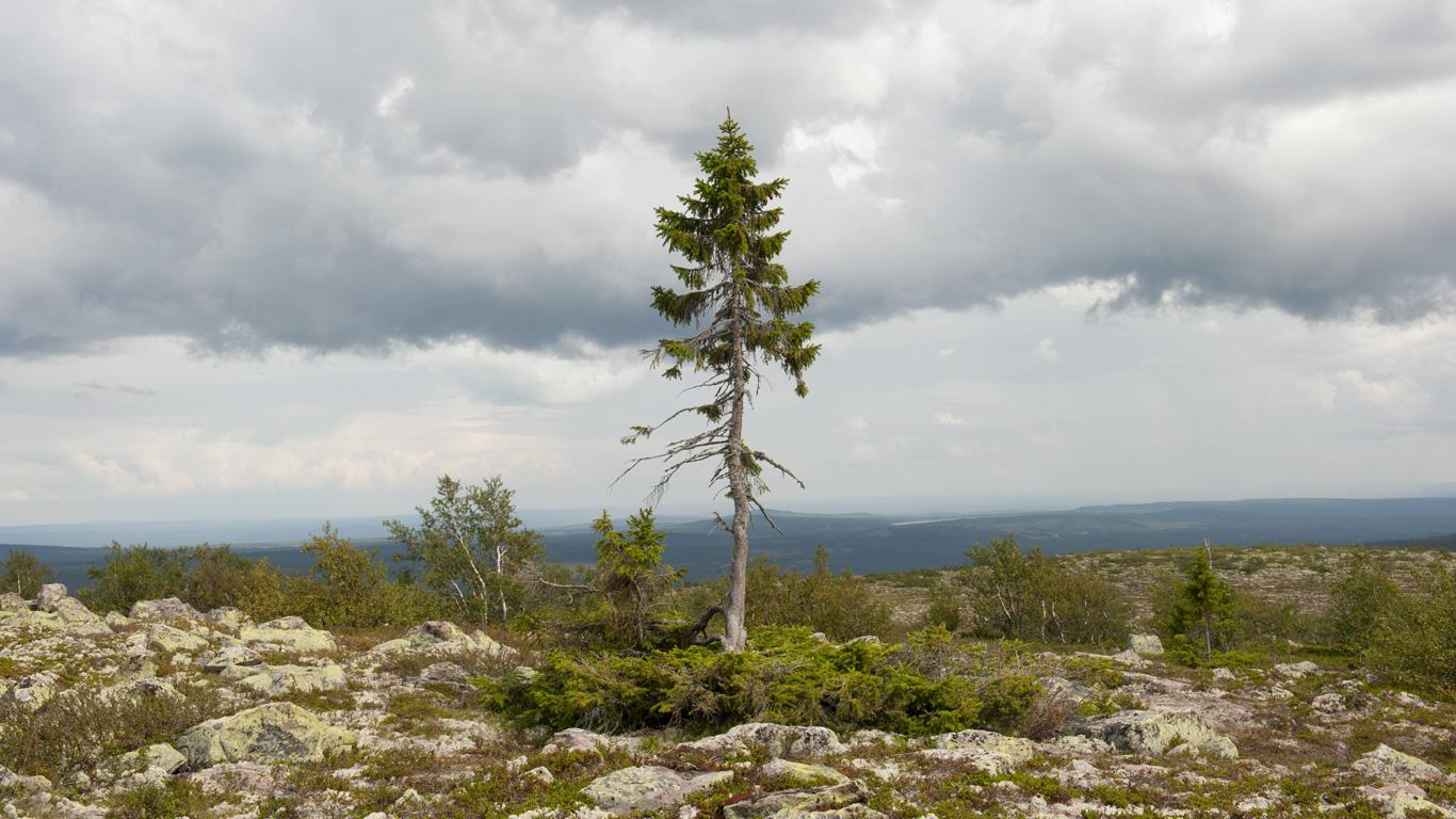 Der älteste Baum der Welt