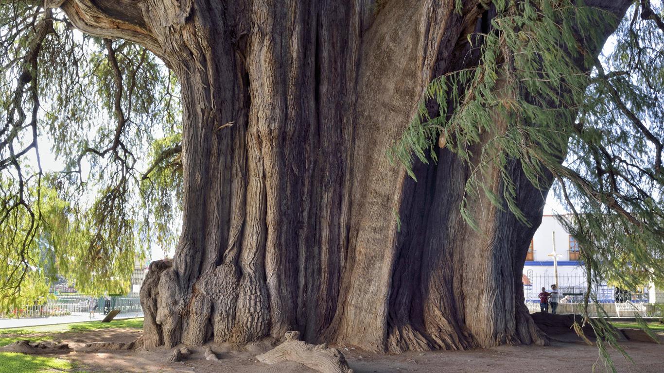 Der dickste Baum der Welt