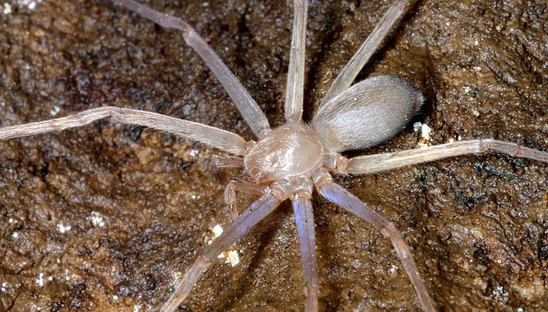 Spinne ohne Augen