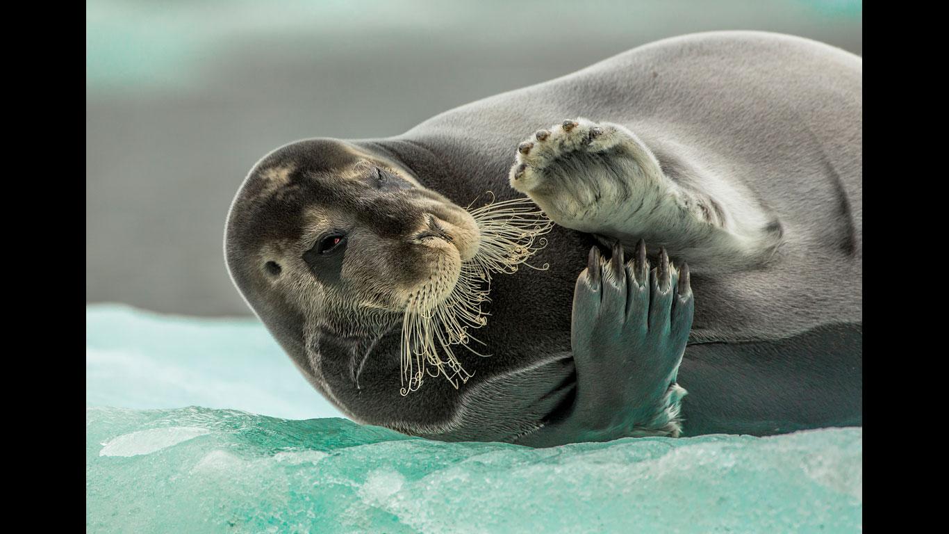 Augenkontakt mit einer Robbe
