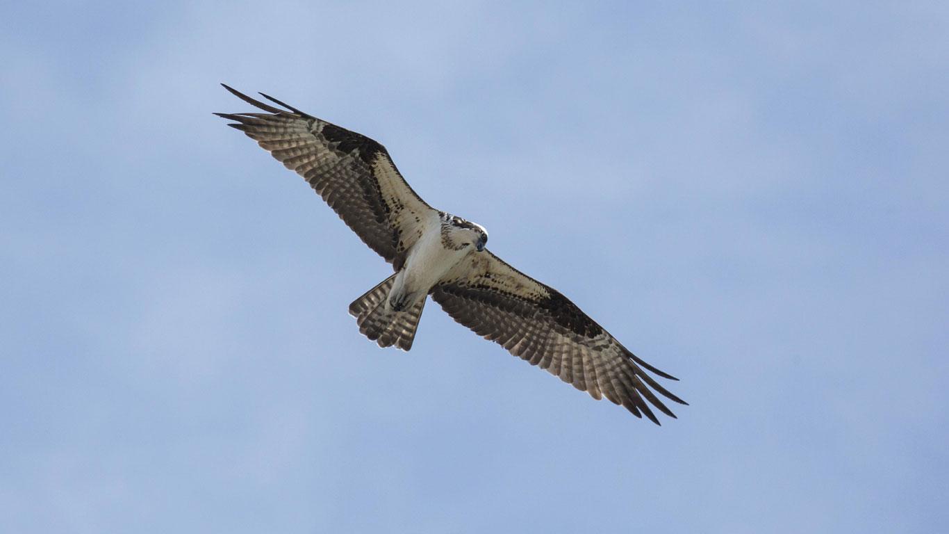 Fischadler auf Beuteflug