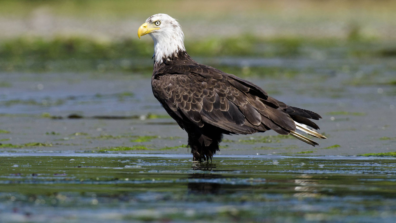 Amerikas Wappenvogel
