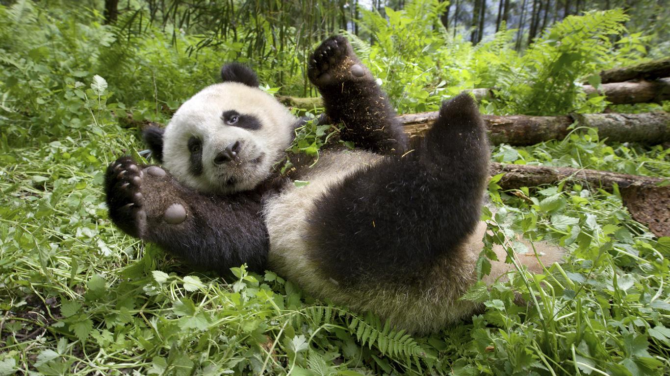 Gefräßiger Bär: Großer Panda