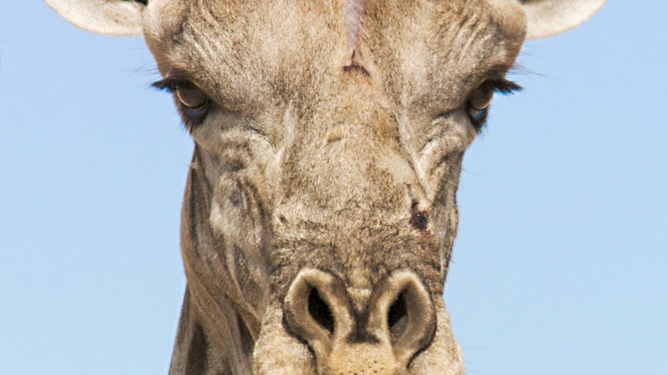 Kämpfende Eleganz: Giraffe