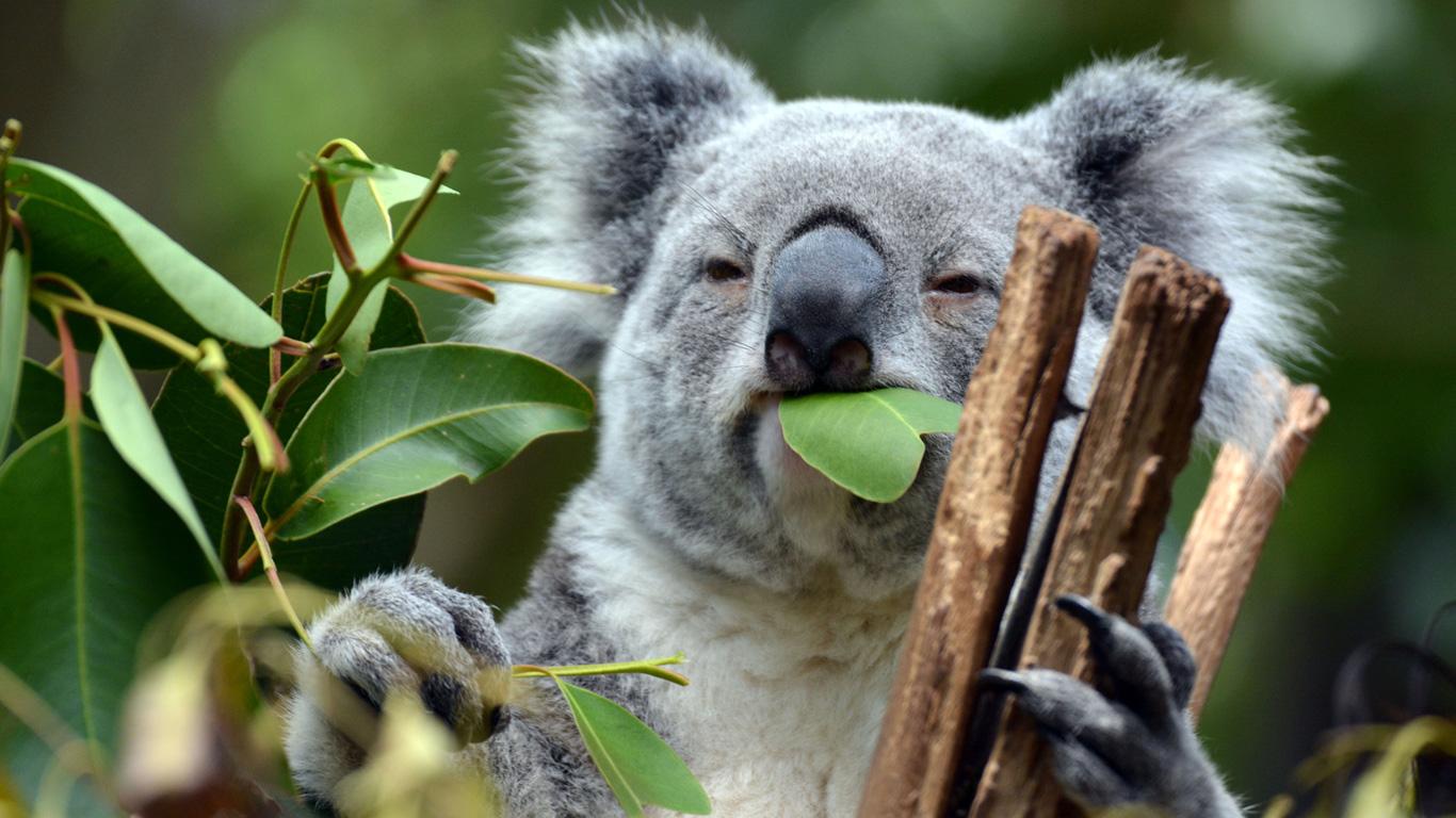 Erfahren Sie in unserer Galerie interessante Fakten über die Koalas!