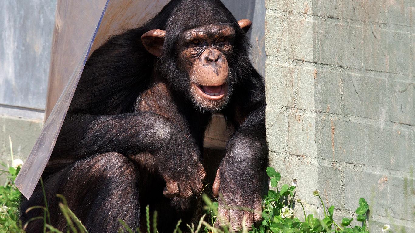 Schimpansen in Gefangenschaft
