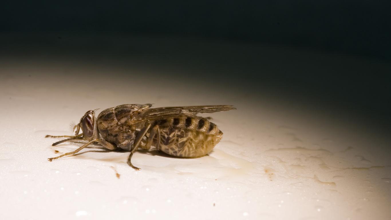 Tsetse-Fliegen