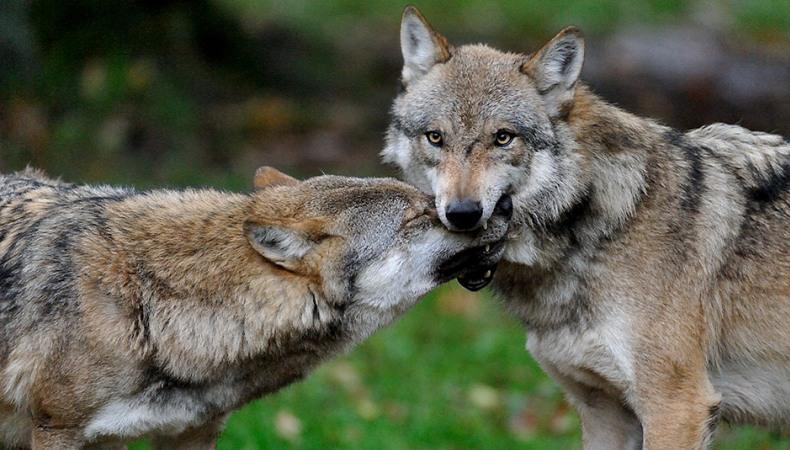 Wie unterhalten sich Wölfe?