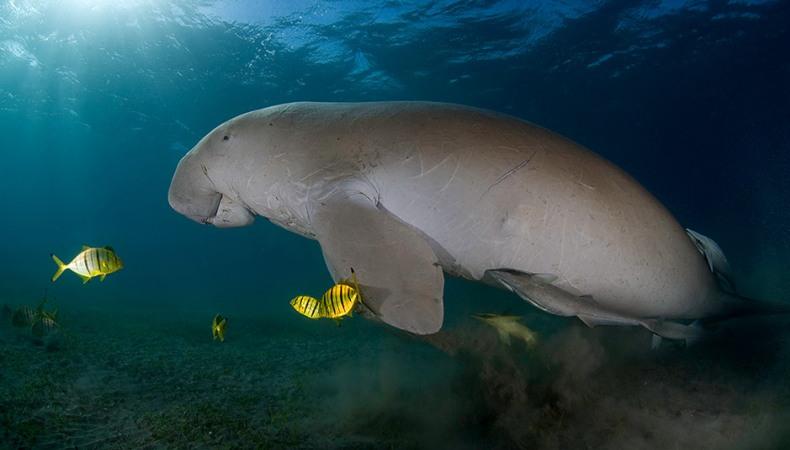 Schwimmendes Seeschwein