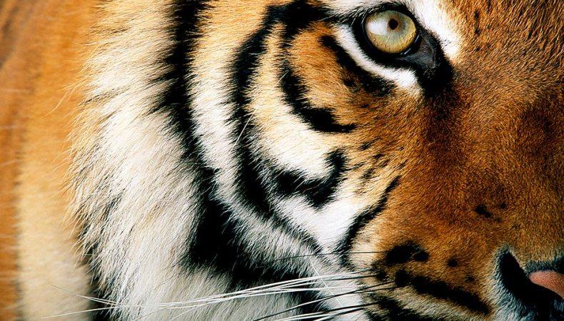 Das Auge des Tigers