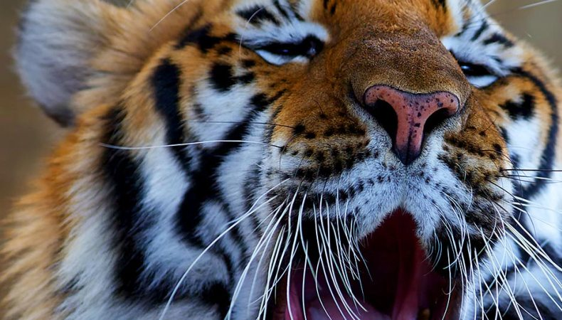 Tiger haben Punkte
