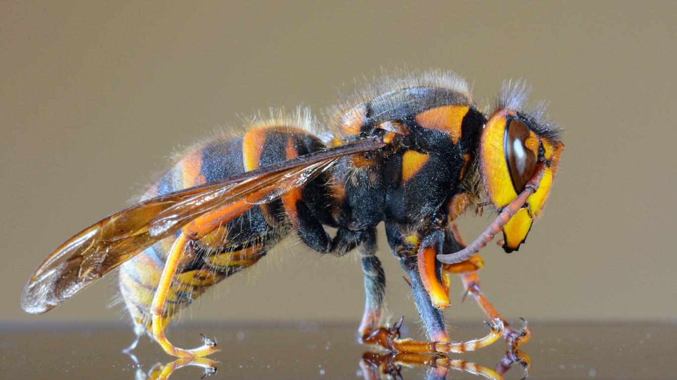 Wie groß ist die größte Wespe der Welt?