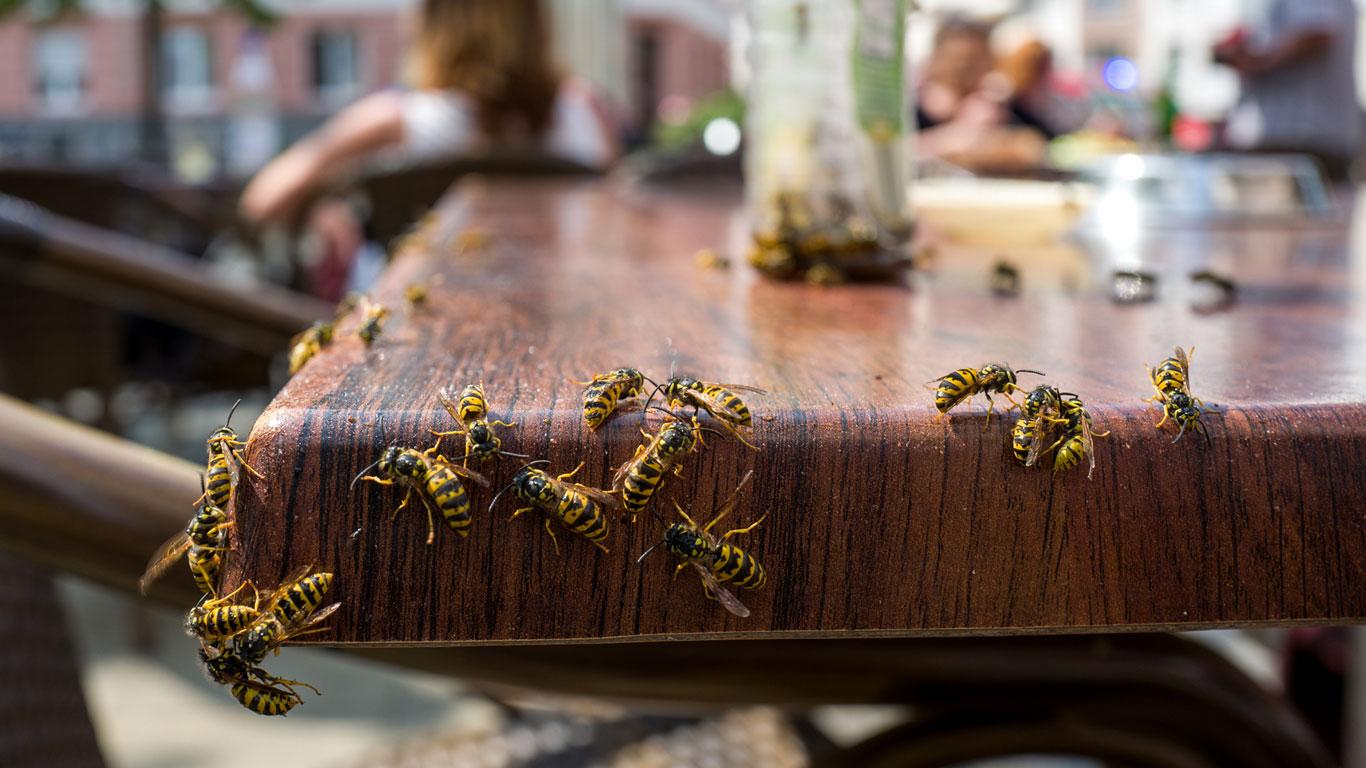 Warum sind Wespen im Spätsommer so aggressiv?