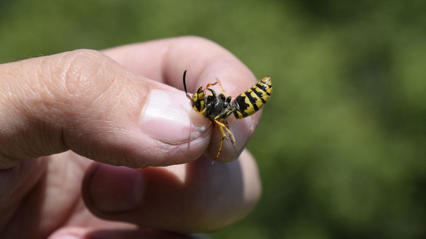 Sterben Wespen, nachdem sie gestochen haben?