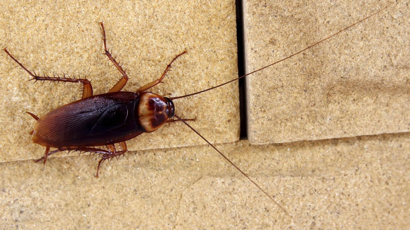 Kakerlaken können eine nukleare Apokalypse überleben