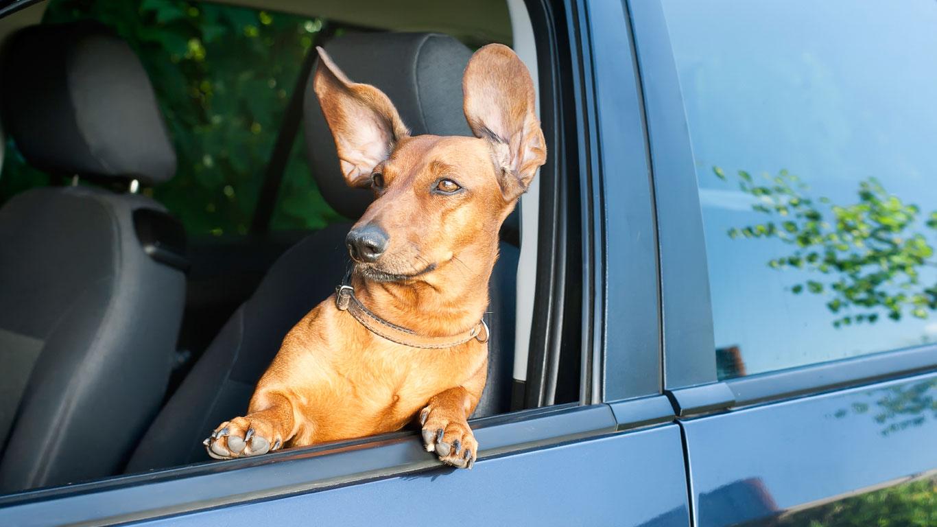Platz 6: Anschnallpflicht für Hunde