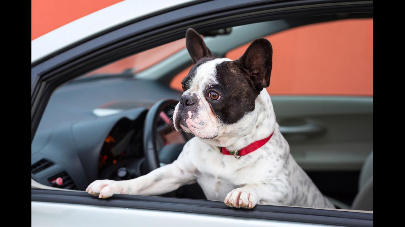 Platz 8: Tiere im Fahrzeug