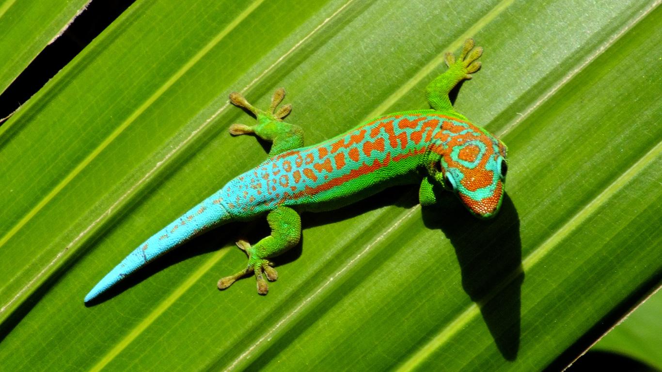 Der Gecko