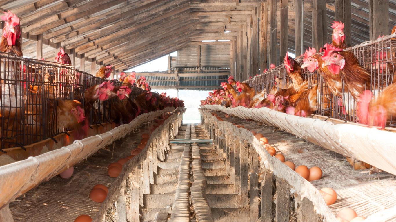 Legehennen werden Suppenhühner