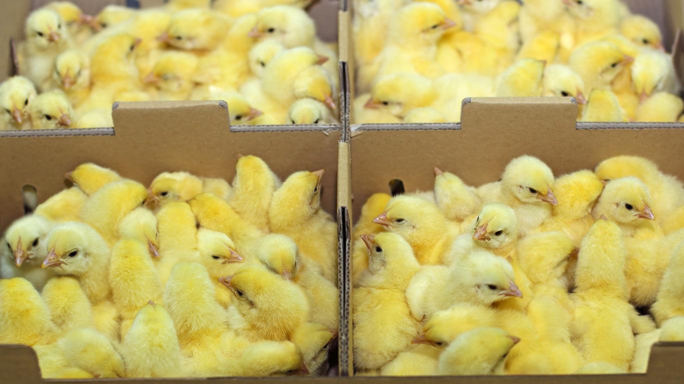 Wo kommen die Hühnchen her?