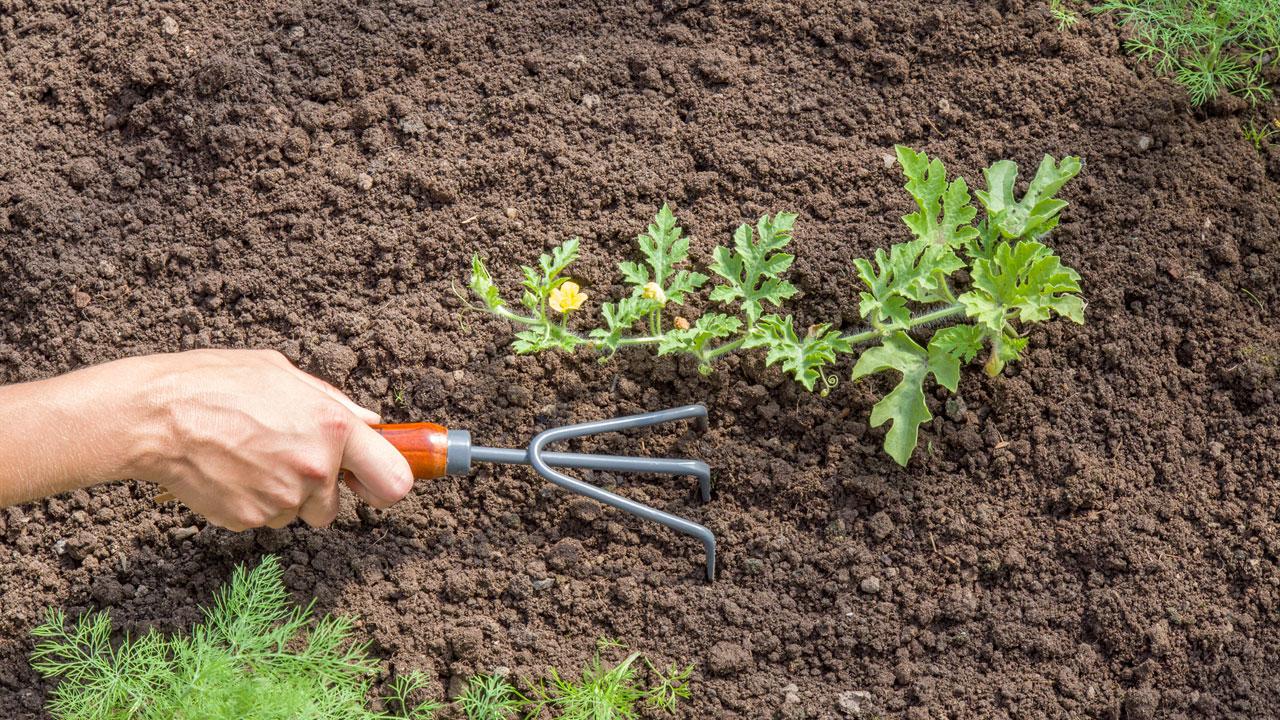 Im Topf oder Garten anbauen