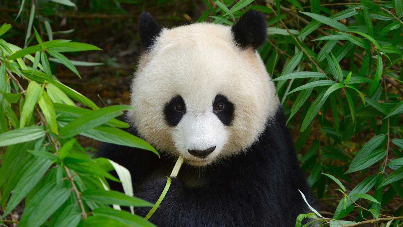 Im Reich der Pandas