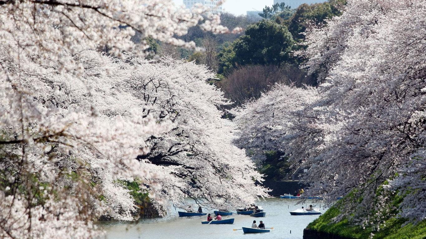 Das Fest der Kirschblüten