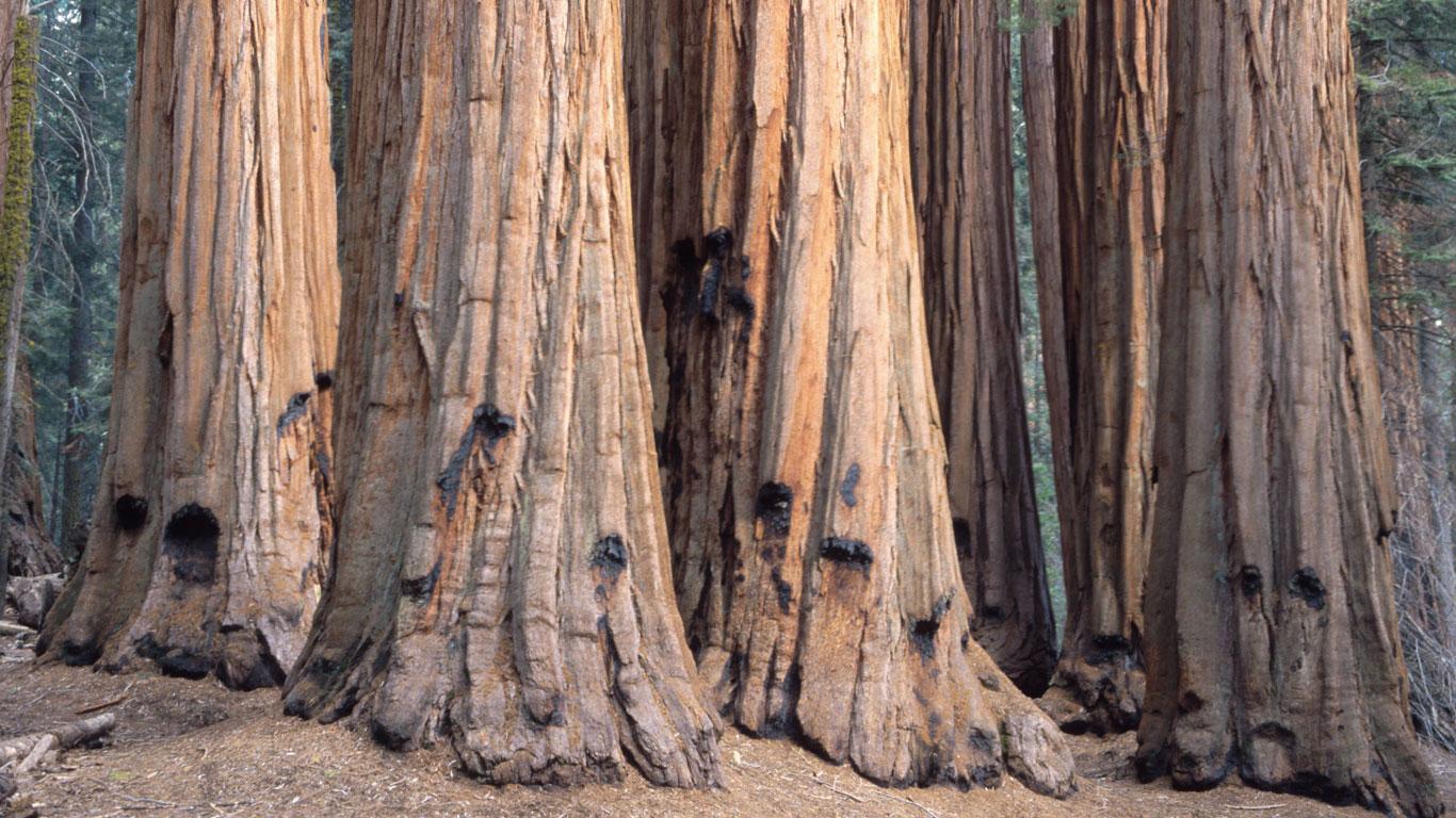 Gesellschaftsfreudige Mammutbäume