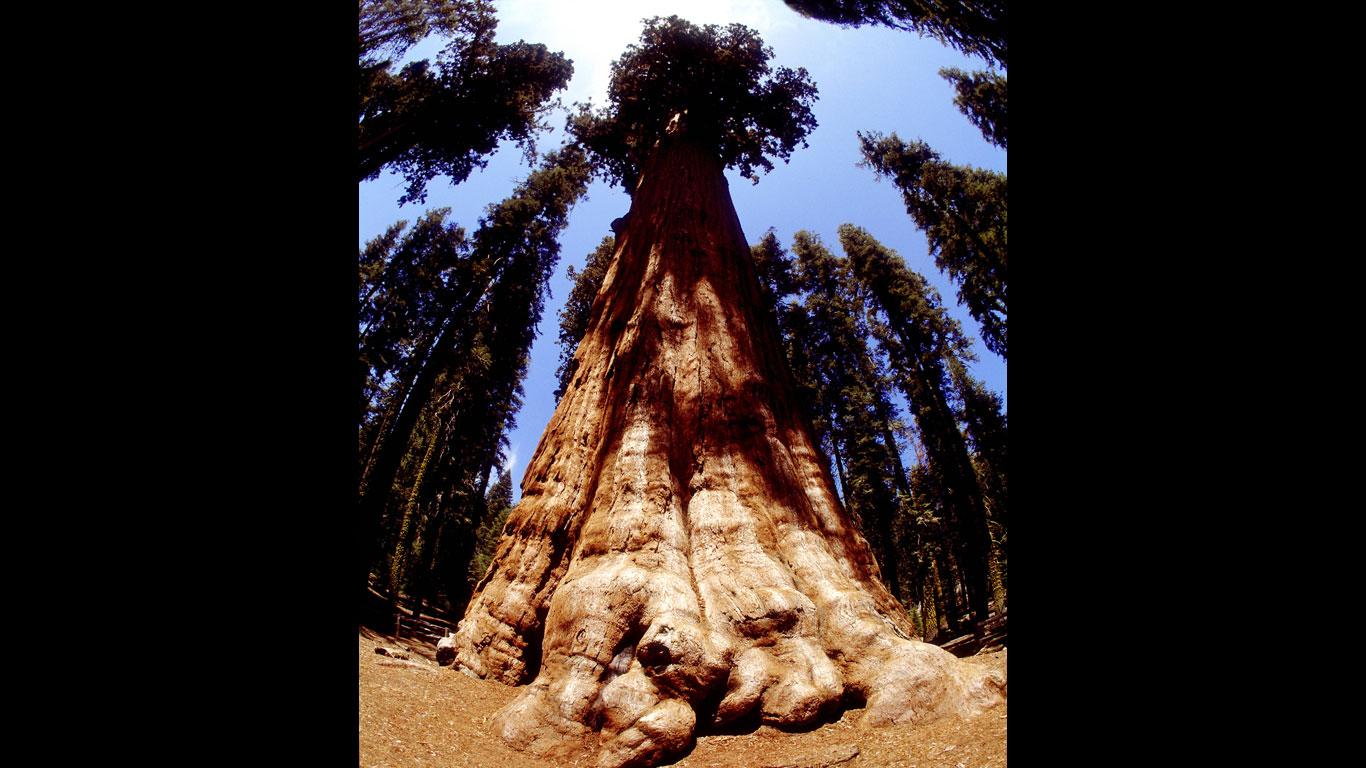 Der größte Baum der Welt