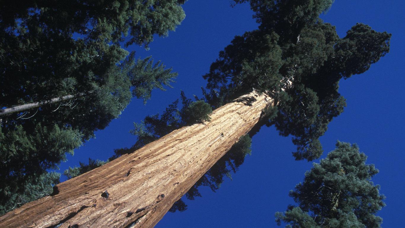 Die höchsten Bäume der Welt