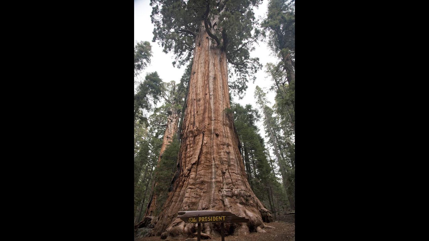 Der zweitgrößte Baum der Erde