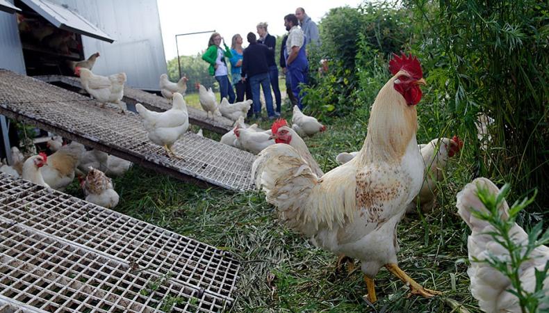 Diese Hühner dürfen campen