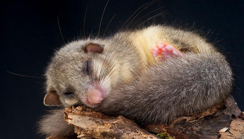 Schlafmangel beim Siebenschläfer